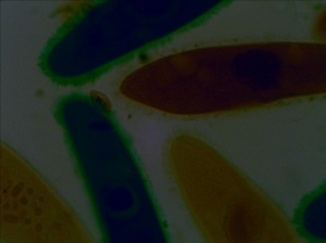 Paramecium at 400X taken with Tucsen Microscope Camera at Low Light