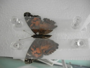 Butterfly Preservation