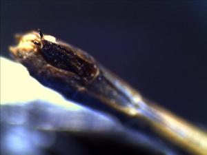 damselfly abdomen - anal appendges