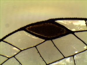 Part of damselfly forewing