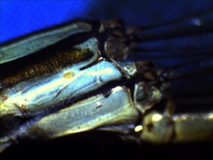 Damselfly thorax side view