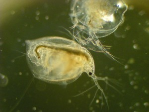 This Daphnia shell is finally came off.