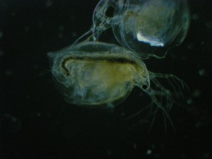 Daphnia and its old shell
