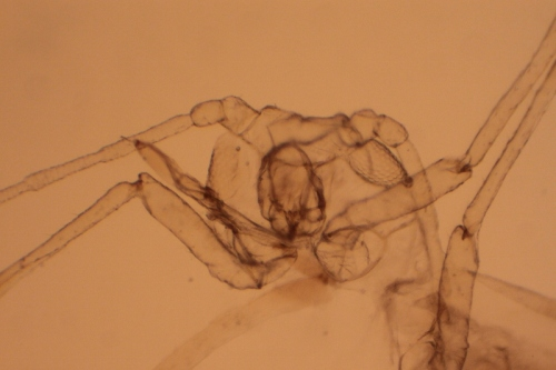 The head and thorax of an aphid