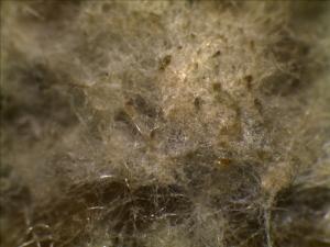 Monilinia fructicola Mycelium