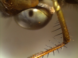 Front leg and compound of a dragonfly