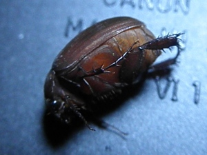 June Bug (unidentified)