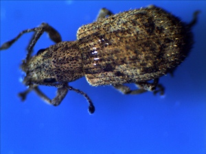 Garden Weevil Top View