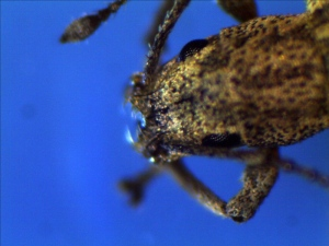 Garden Weevil Head