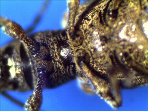 Thorax and Abdomen of Garden Weevil (under side)