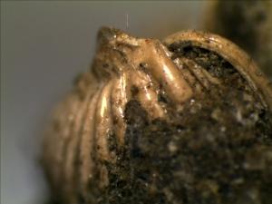 Mollusk or Gastropod
