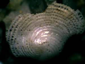 A piece of sea shell becomes very porous after years of erosion.
